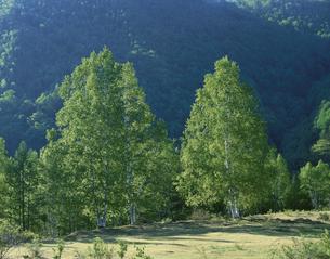 光る白樺の木 乗鞍高原 安曇村 長野県の写真素材 [FYI03270916]