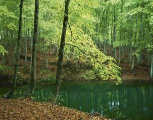新緑のブナ林と池 松之山町5月 新潟県の写真素材 [FYI03270918]