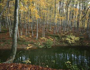 秋のブナ林と池 美人林 新潟県の写真素材 [FYI03270925]