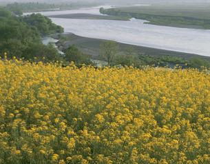 菜の花畑と千曲川 飯山 4月 長野県の写真素材 [FYI03270928]