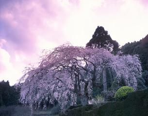 秋葉の枝垂れ桜の夕景の写真素材 [FYI03270946]