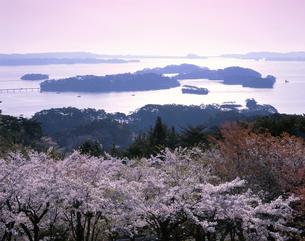 朝の桜と松島湾 宮城県の写真素材 [FYI03270950]
