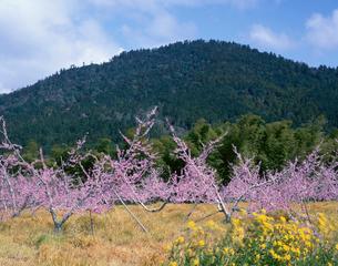 桃畑と三輪山 山辺の道付近 奈良県の写真素材 [FYI03270951]