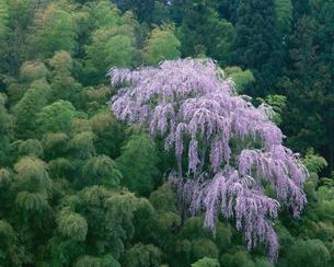 しだれ桜と竹林 福島県の写真素材 [FYI03270953]