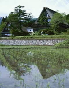 稲田と合掌民家の写真素材 [FYI03270954]