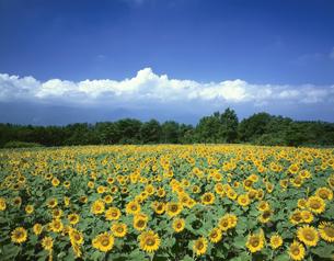 ヒマワリ畑と夏雲の写真素材 [FYI03270960]