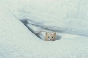 穴の中のエゾクロテンの写真素材 [FYI03271072]
