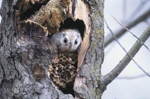 エゾモモンガと蜂の巣の写真素材 [FYI03271202]