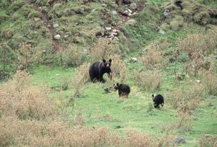 ひ熊の親子の写真素材 [FYI03271369]