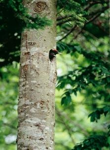 クマゲラのヒナの写真素材 [FYI03271430]