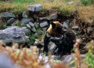 シャケをくわえたひ熊 知床半島の写真素材 [FYI03271434]