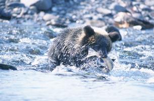 シャケをくわえたひ熊 知床半島の写真素材 [FYI03271435]