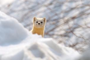 雪のなかのエゾクロテンの写真素材 [FYI03271614]