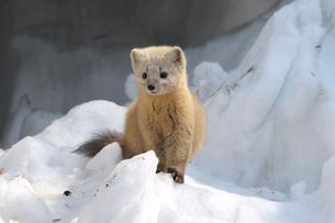 雪のなかのエゾクロテンの写真素材 [FYI03271625]