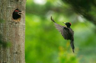 巣に戻るクマゲラの写真素材 [FYI03271699]