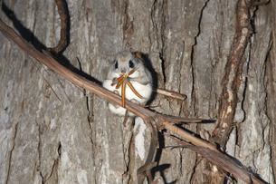 シラカバの芽を食べるエゾモモンガの写真素材 [FYI03271736]