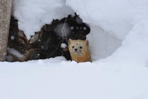 雪のなかのエゾクロテンの写真素材 [FYI03271923]
