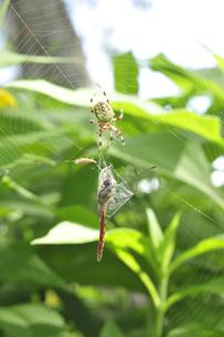 蜘蛛の巣とトンボの写真素材 [FYI03271958]