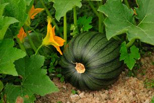かぼちゃの写真素材 [FYI03272084]