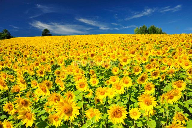 ひまわり咲く丘の写真素材 [FYI03272101]