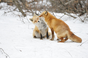 キタキツネの愛のしぐさの写真素材 [FYI03272408]
