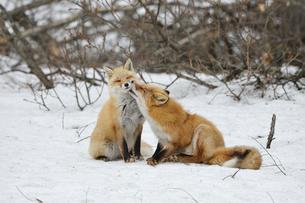 キタキツネの愛のしぐさの写真素材 [FYI03272410]
