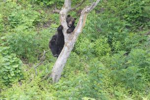 木登りするヒグマの写真素材 [FYI03272433]