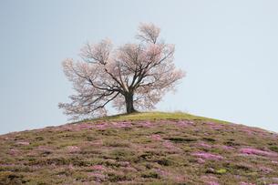 桜咲く一本木の丘の写真素材 [FYI03272437]