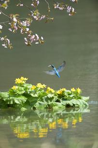 春のカワセミの写真素材 [FYI03272540]