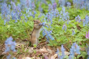 花の水をなめるシマリスの写真素材 [FYI03272543]