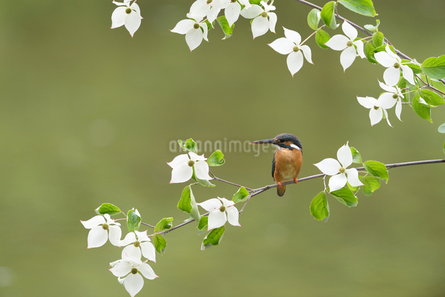 カワセミとヤマボウシの花の写真素材 [FYI03272573]