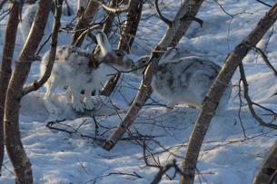 仲良しエゾユキウサギの写真素材 [FYI03272673]