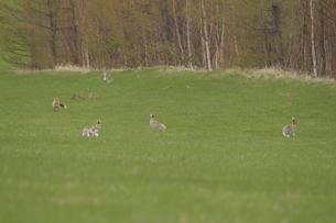 キタキツネに狙われるエゾユキウサギの群れの写真素材 [FYI03272684]