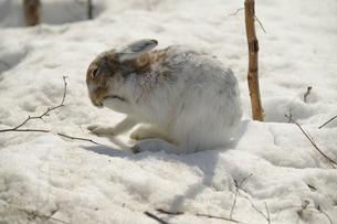 春待つエゾユキウサギの写真素材 [FYI03272687]