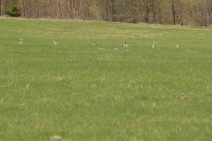 エゾユキウサギの群れの写真素材 [FYI03272690]