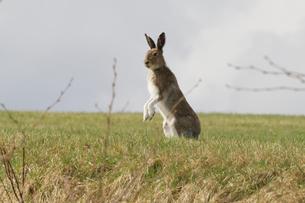 警戒し時々立ち上がるエゾユキウサギの写真素材 [FYI03272711]