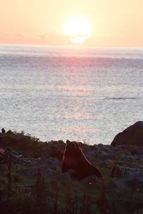 夕陽のなかのヒグマの写真素材 [FYI03272800]