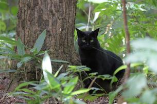 黒猫の写真素材 [FYI03272815]