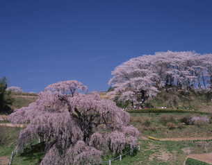 三春滝桜 紅シダレの写真素材 [FYI03273056]