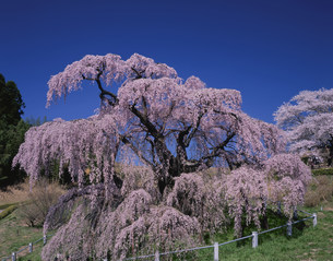 三春滝桜 紅シダレの写真素材 [FYI03273061]