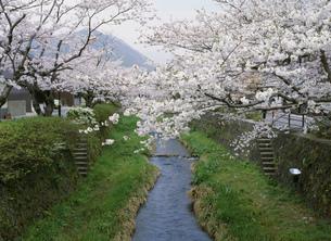 一の坂川と桜並木 萩往還の写真素材 [FYI03273257]