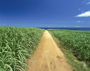 サトウキビ畑の写真素材 [FYI03273316]