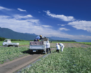スイカの収穫の写真素材 [FYI03273407]