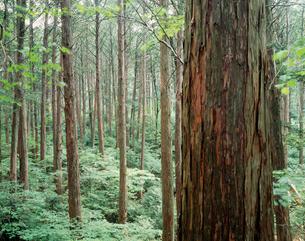 檜林の写真素材 [FYI03273651]