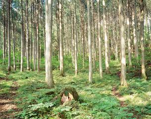 檜林の写真素材 [FYI03273653]