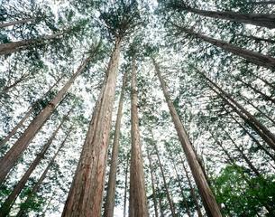 檜林 赤沢美林の写真素材 [FYI03273729]