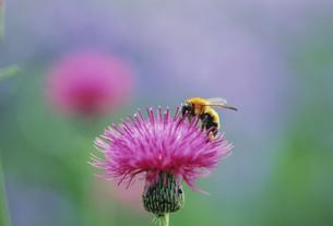 アザミとミツバチの写真素材 [FYI03273759]