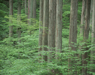 檜林 赤沢美林 6月 長野県の写真素材 [FYI03273892]