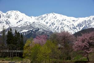桜咲く白馬村 大出公園からの杓子岳と白馬岳の写真素材 [FYI03274051]