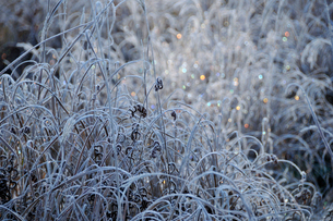 虹色に輝く朝の霜の写真素材 [FYI03274079]